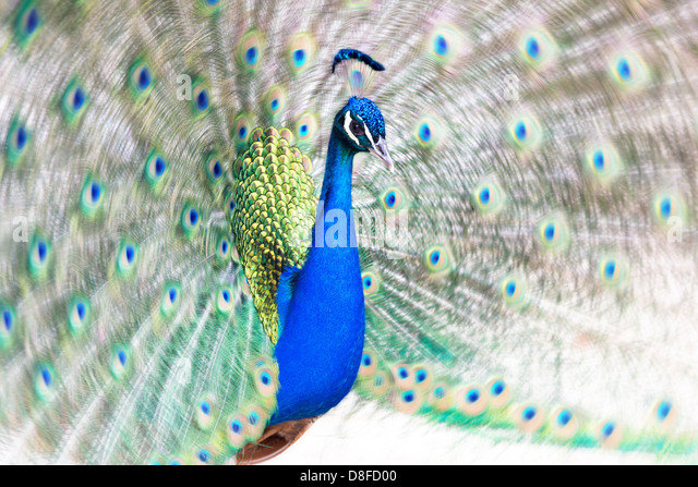 Peacock fanning its tail - Stock-Bilder
