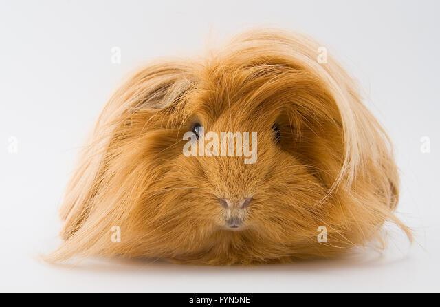 Guinea pig breed Sheltie. - Stock-Bilder