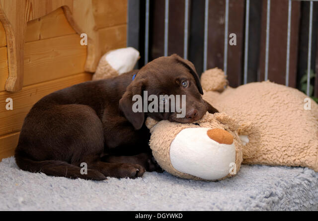 Brown Labrador Retriever, puppy lying on a plush toy - Stock Image