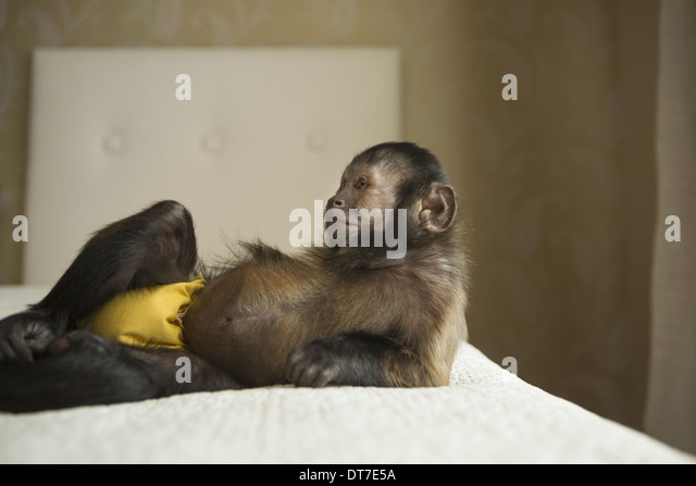 A capuchin monkey lying on a bed in a domestic home Austin Texas USA - Stock Image