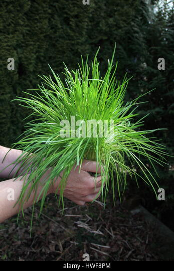 replanting wild chive in garden. Photo by Willy Matheisl - Stock Image