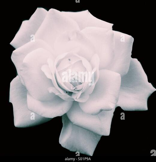 The White Rose - Stock Image