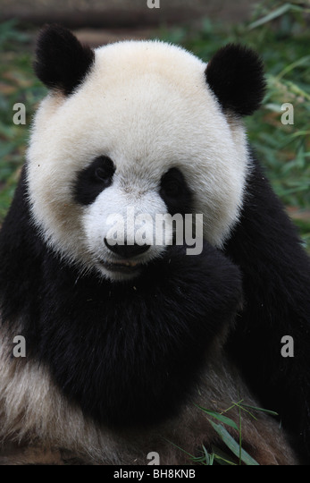 Chinese Panda - Stock Image