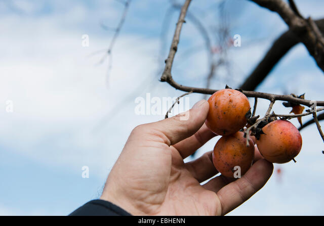 Farmers hand picking persimmon fruit, Missouri, USA - Stock Image
