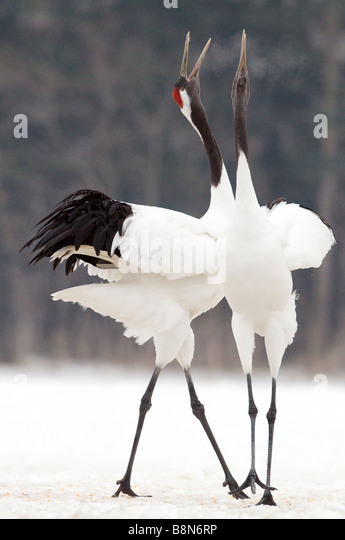 Japanese Red crowned Cranes Grus japonensis pair calling Akan Hokkaido Japan winter - Stock-Bilder
