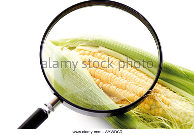 Corn, Maize, Cultivation of corn, Genetically modified corn - Stock Image