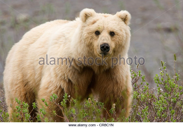 A blond grizzly constantly forages for food - Stock Image