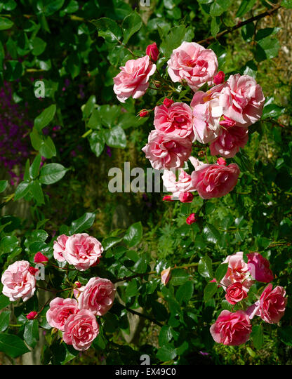 Floribunda rose Fascination - Stock Image