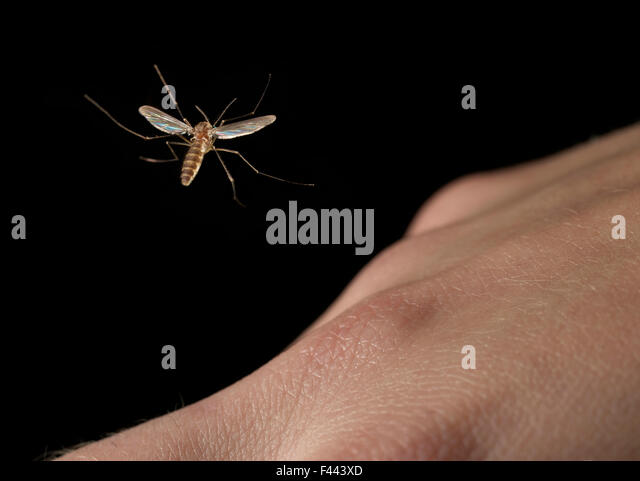 Mosquito flying over a human hand - Stock Image