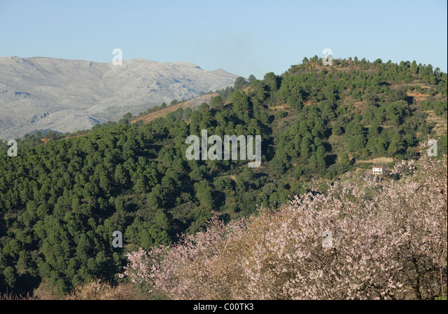 Andalucia Almond trees and the Mountains near Ronda - Stock Image