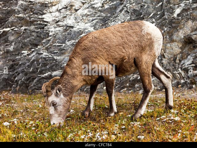 Bighorn Sheep (Ovis canadensis) Banff National Park, Alberta, Canada - Stock Image