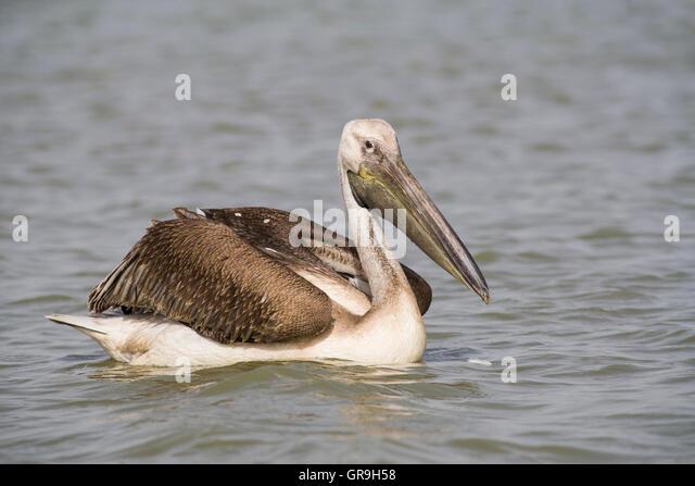 Great White Pelican (Pelecanus onocrotalus), subadult, Djoudj National Park, Senegal - Stock Image