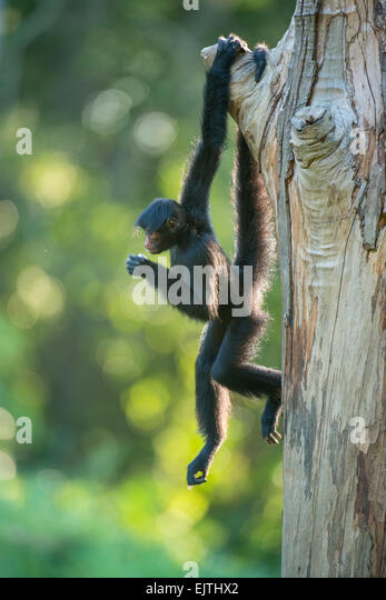 Black spider monkey, Ateles paniscus, Suriname, South America - Stock Image