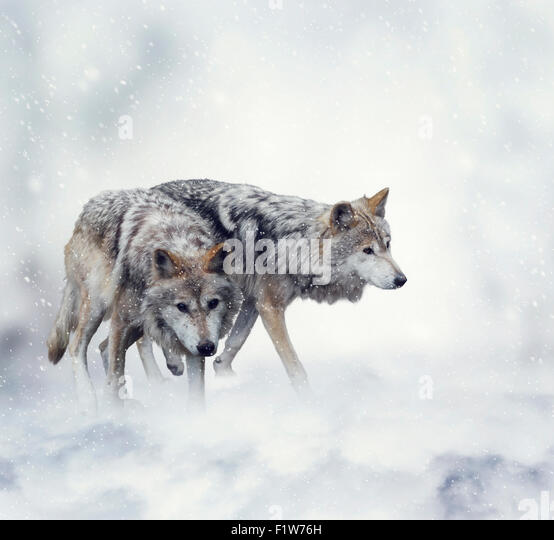 Two Wolves Walking in the Snow - Stock-Bilder