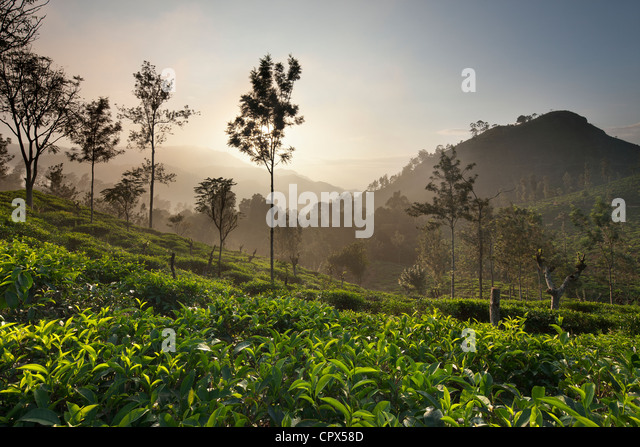 a tea plantation nr Ella with Little Samson's Peak (right), Southern Highlands, Sri Lanka - Stock Image