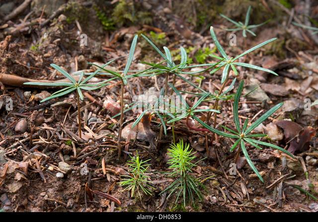 Seedlings of Norway Spruce (Picea abies), front, seedlings of Silver Fir (Abies alba), rear, Hopfgarten, Tyrol, - Stock Image