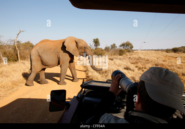 African elephant in front of safari vehicle, Madikwe Game Reserve, Madikwe, South Africa, Africa - Stock-Bilder