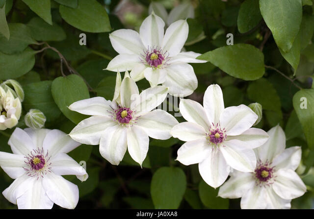 large white clematis stock photos large white clematis stock images alamy. Black Bedroom Furniture Sets. Home Design Ideas
