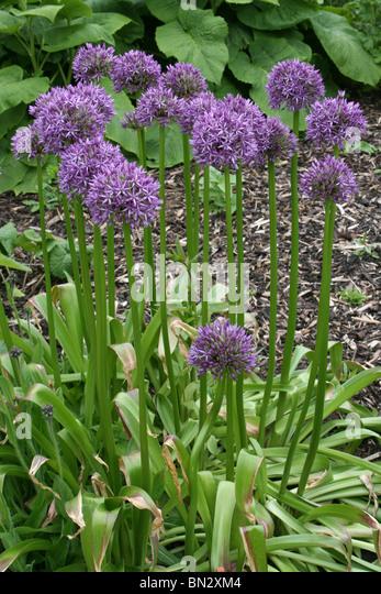 Alliums sp. Taken at Ness Botanic Gardens, Wirral, UK - Stock Image