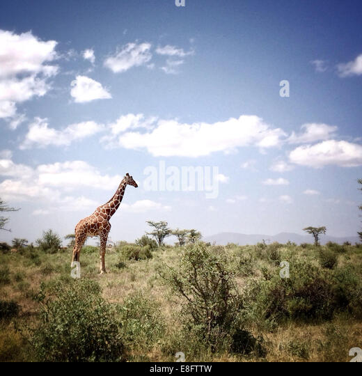 Kenya, Samburu National Park, View of giraffe - Stock Image