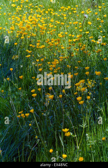 Wildflower meadow of meadow buttercups in grass - Stock Image