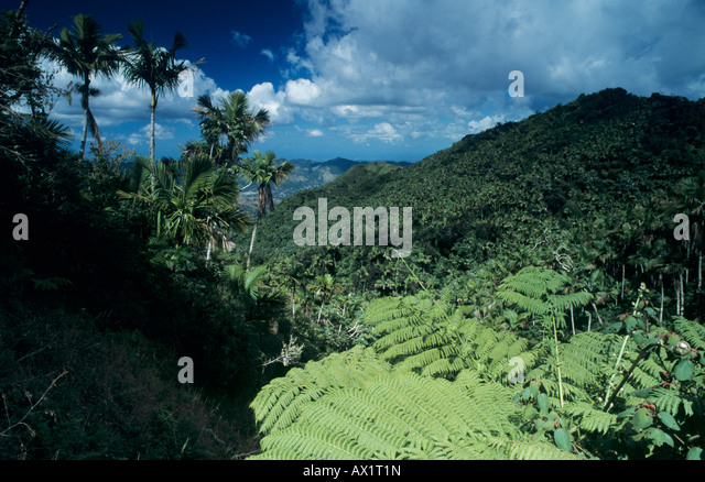 Rainforest Tree fern View from Ruta Panoramica Cordillera Central Puerto Rico USA February 2003 - Stock Image