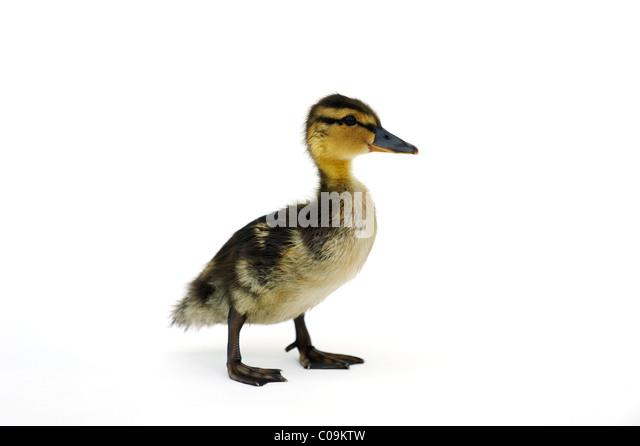 Young wild duck, duckling, mallard (Anas plathyrhynochos) - Stock Image