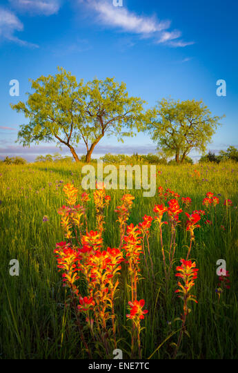 Texas paintbrush and trees in Ennis, Texas. - Stock-Bilder