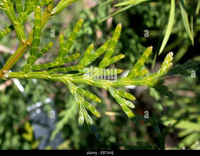 Taiwan Incense-cedar, Taiwan white cedar (Calocedrus formosana, Calocedrus macrolepis var. formosana ), branch - Stock Image