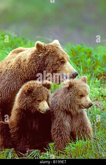 Mother brown bear (ursus arctos) with yearling cubs, coastal Alaska. - Stock Image
