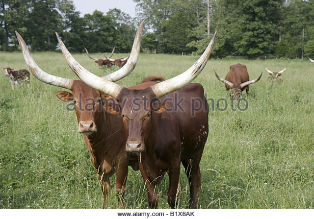 Arkansas Maynard Ankole Watusi cattle African breed imported animal mammal bovine domestic cattle large horns low - Stock Image