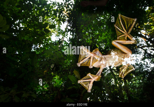 Male Wallace's Flying Frog flying/gliding down to temporary pools on the forest floor, Sabah, Borneo (Rhacophorus - Stock-Bilder