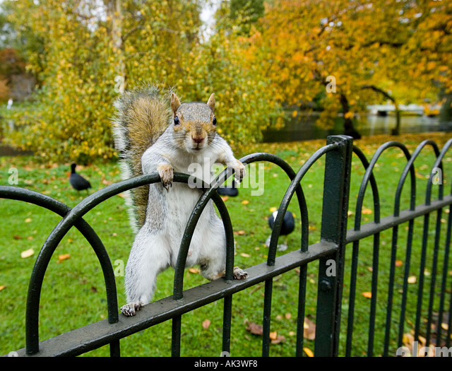 Grey Squirrel in St James Park London UK - Stock-Bilder