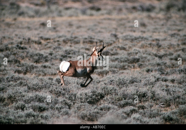 A pronghorn antelope flees across the plains of Wyoming USA COPYRIGHT DUANE BURLESON - Stock Image