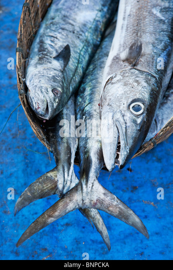 Fish in a wicker basket which make up part of a daily catch at the fishing village Fort Kochi. Kochi, Kerala, India - Stock-Bilder
