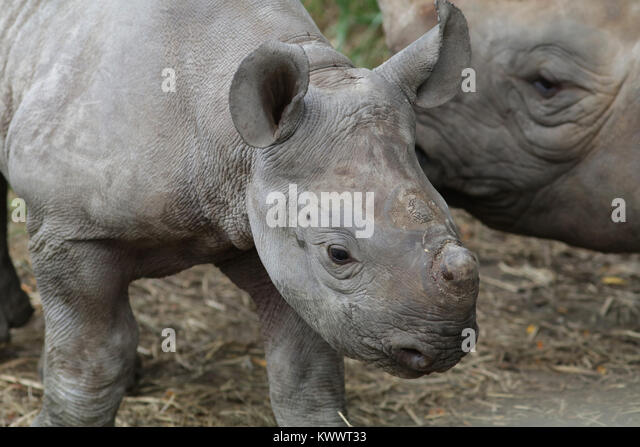 black rhinoceros mother and baby at Cincinnati zoo - Stock Image