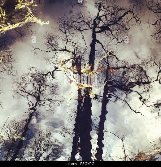 Reflection of pine trees, America, USA - Stock Image