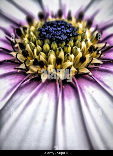 Close up of a cape daisy - Stock Image