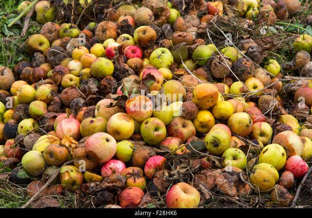 Rotten apples on a compost heap on an allotment site - Stock Image