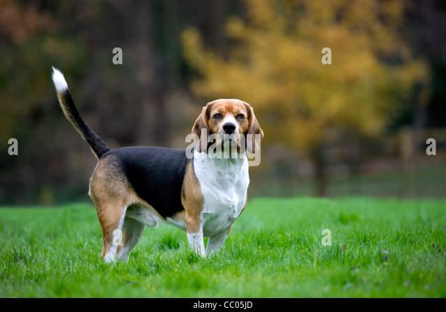 Tricolour Beagle dog in garden - Stock Image