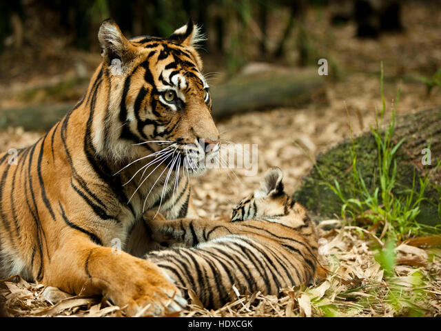 A tiger mother with her cub playing in the forest - Stock Image