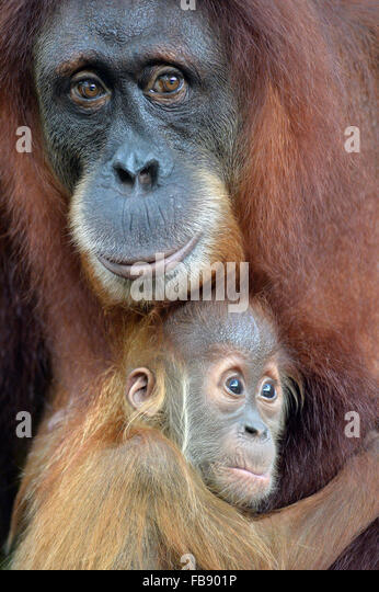Singapore. 12th Jan, 2016. A baby Sumatran orangutan holds onto its mother tightly at the Singapore Zoo on Jan 12, - Stock Image