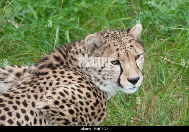 Cheetah, Acinonyx jubatus. - Stock Image