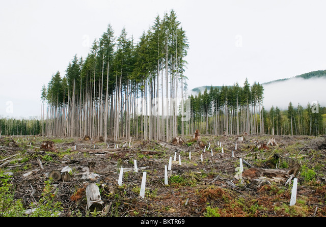 Trees as Crops, Clearcut in progress, Cowichan Valley, Vancouver island, BC Canada - Stock Image