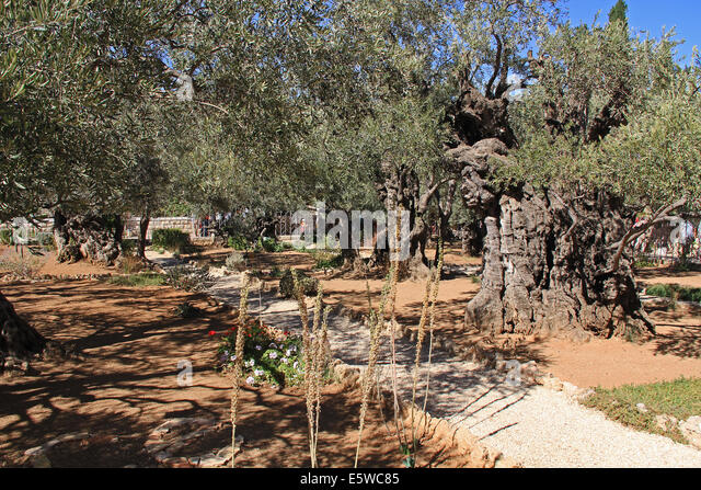 Olive trees within the Garden of Gethsemane which means oil press in Israel. - Stock Image