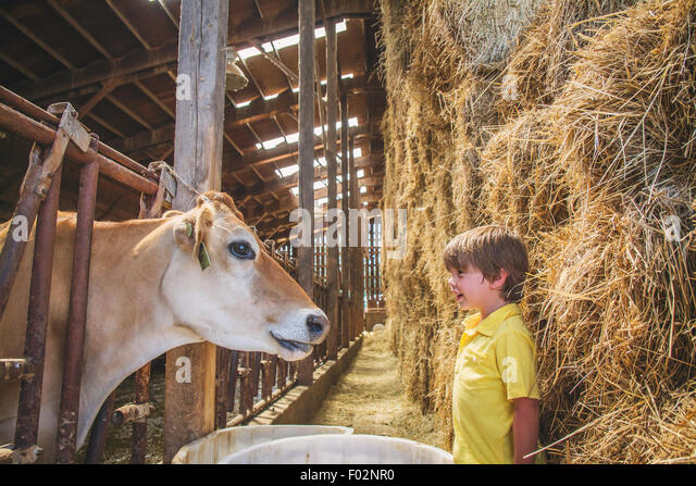 Boy looking at a cow in a stall - Stock Image