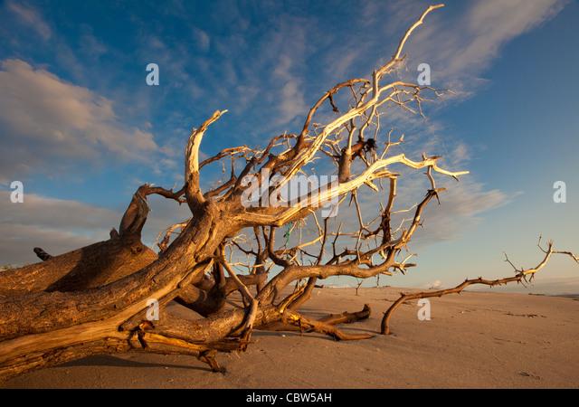 Stranded tree on the beach at Punta Chame, Pacific coast, Panama province, Republic of Panama. - Stock Image