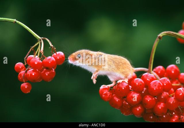 Harvest Mouse on Guelder Rose Kent October - Stock-Bilder