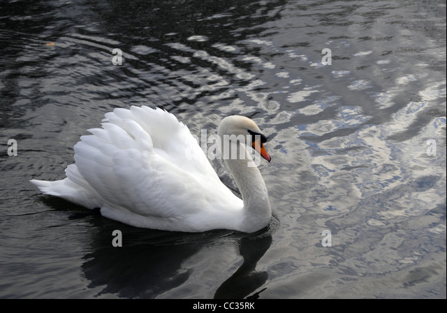 White Swan Swimming in a Pond - Stock Image