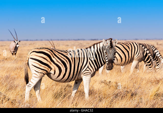 Group of Zebras  and Oryx in the Etosha National Park in Namibia, Concept for travel in Africa and Safari - Stock-Bilder